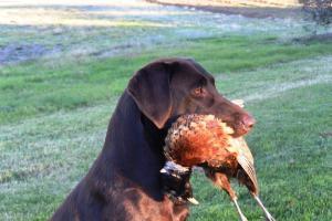 Thanksgiving Pheasant Hunt